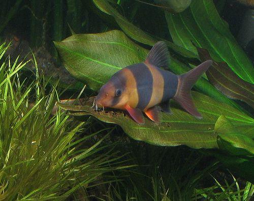 Caresheet Clown Loach Chromobotia Macracanthus Clown Loach Tropical Freshwater Fish Tropical Fish Aquarium