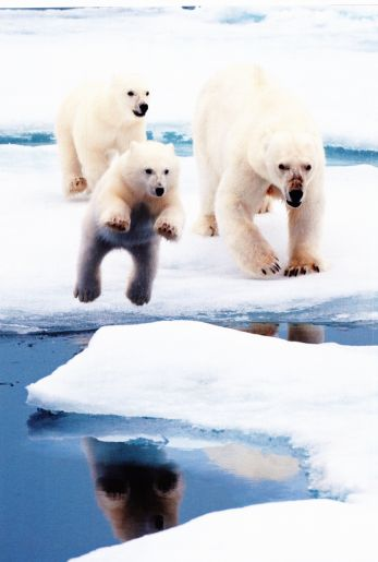 Frolicking polar bears!
