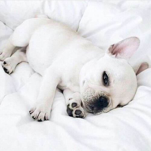 French Bulldog Puppy On White Bed Puppies Baby Animals Animals