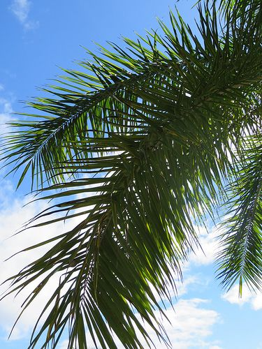 palm tree krone branches - photo #25