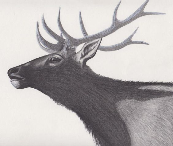 PATH Collection - Buck By Joseph Owen Graphite on Bristol Paper