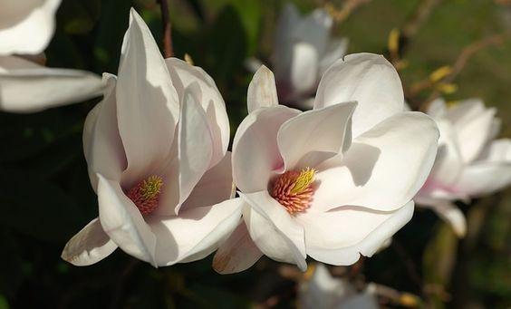 Lalea Magnolie, Floare, Alb, Alb Floare, Primăvară