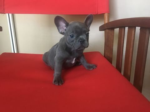 Litter Of 6 French Bulldog Puppies For Sale In Metairie La Adn