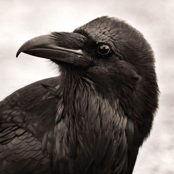 https://www.google.be/search?q=calling raven