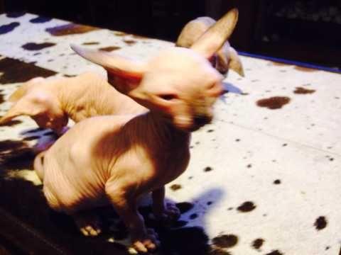 Beautiful Sphynx Kittens Ready Now