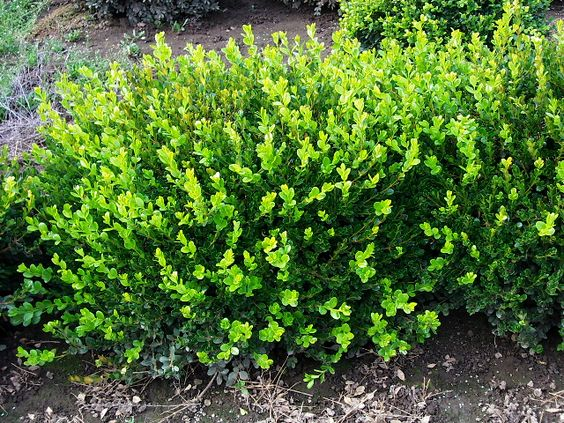 Winter gem Boxwood, stays green all winter. 3-4 ft bright green.  Korean 'Winter Gem') is a cultivar of the Littleleaf Boxwood, known for its light, lime-green leaves, which usually maintain their color through the winter season.