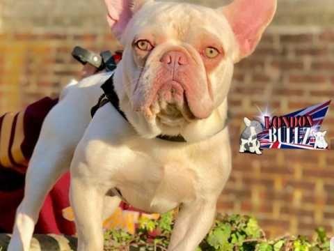 Don Frost French Bulldog Puppies French Bulldog Puppies Bulldog