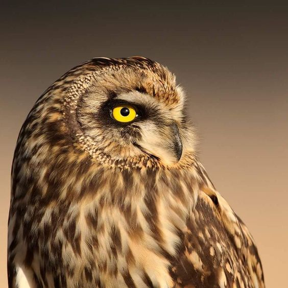 """usfws: """"Short-eared owls can be spotted throughout much of the country in the winter. As spring nears these owls will head north to breeding grounds in the Upper Midwest and Canada. (Rick Cameron/Creative Commons) #owl #wildlife #Nature"""""""