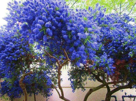 I believe this is ceanothus aka california lilac shrub for Blue flowering bush