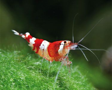 Shrimp, Crystals and Aquarium on PinterestFreshwater Shrimp Care