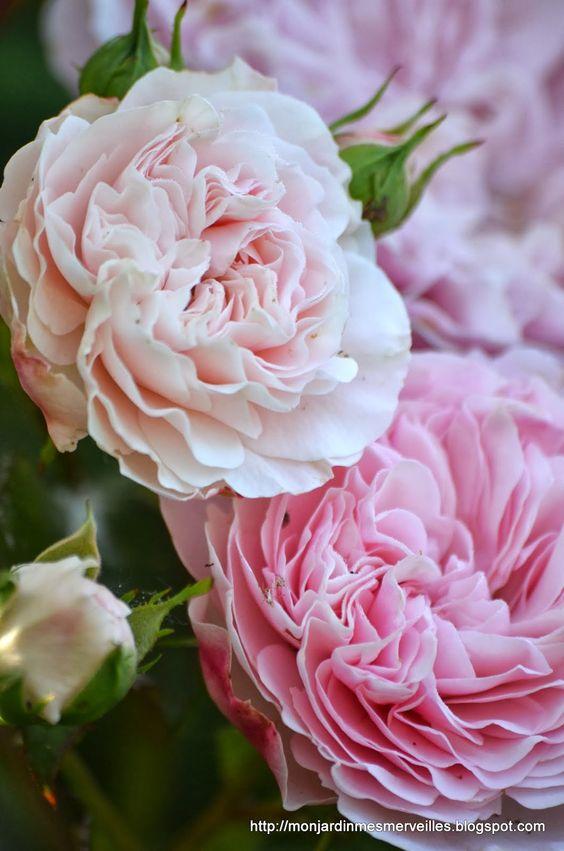 Mon Jardin Mes Merveilles: Jour après jour : R. Maria Theresia: