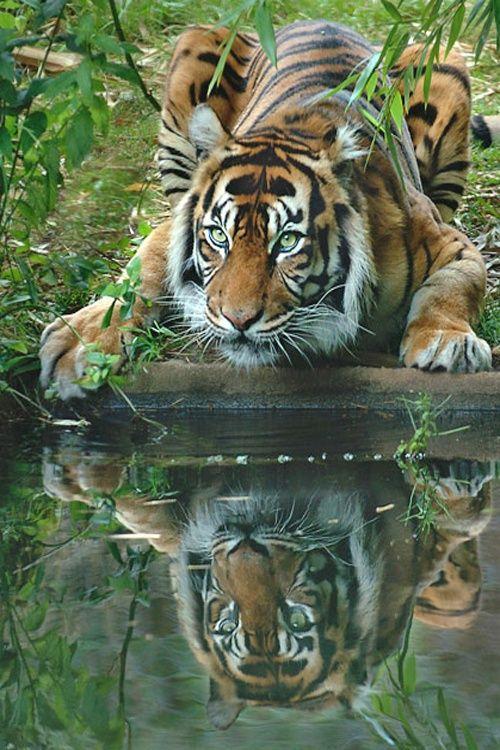 Beautiful Tiger Is Prowling Its Victim