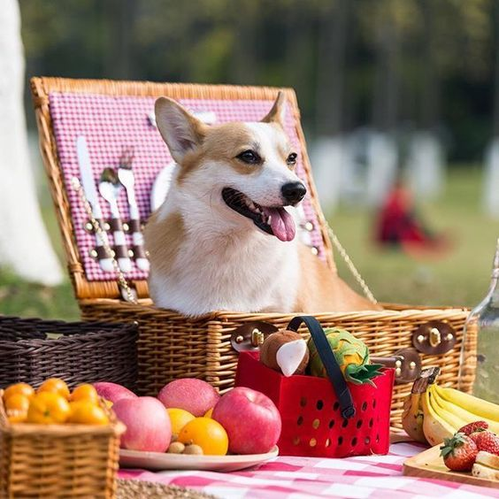 Pawfect day for a picnic with a Pembroke Welsh Corgi. #corgi, #welshcorgi Discover your best Corgi clothes only at Corgilover.guru