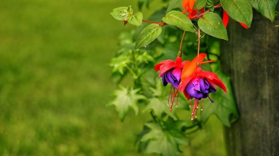 Learn everything you need to know about fuchsias, where do they come from, how to grow them and much more.