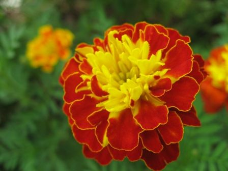 Flowers in Singapore: Marigolds