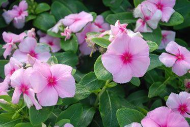 Vinca Pink Blush