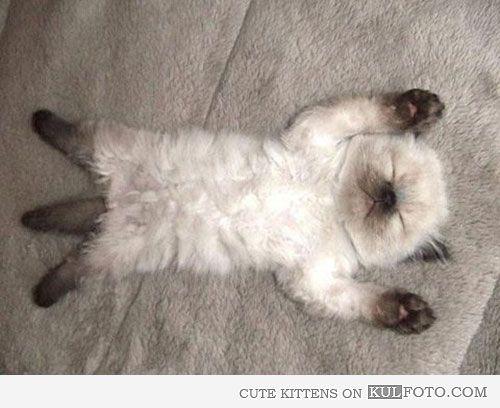 ・・・Sleeping Siamese kitten