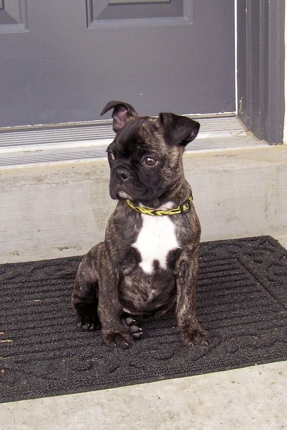 Boston terrier pug mix- bug this is what tilly is this looks excactly like her...I think it's her twin haha
