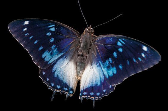 Azul-manchado emperador mariposa, Charaxes Citerón