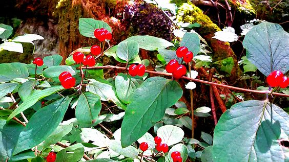 Bacche rosse del Cadore