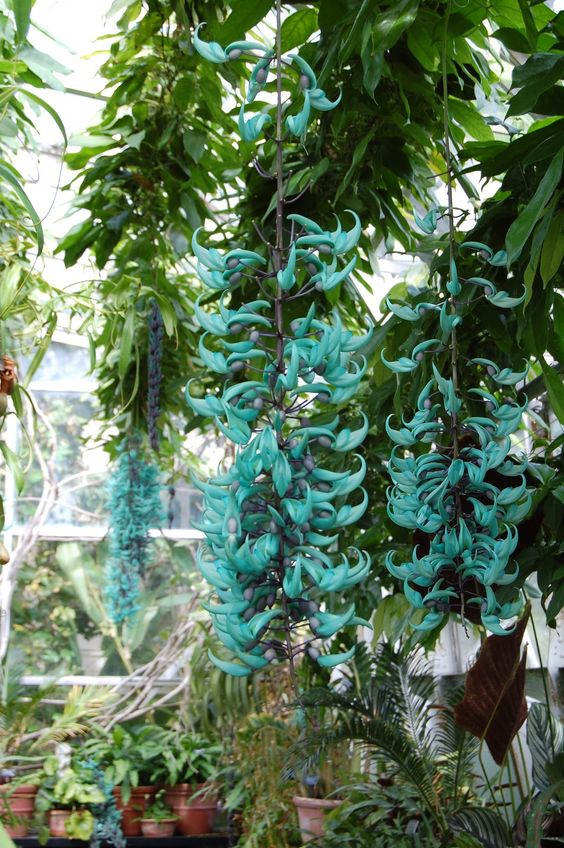 "Strongylodon macrobotrys, ""Blue Jade Vine"""