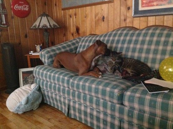 Boxer whispering sweet nothing's to cat!#Pin By:Pinterest++ for iPad#