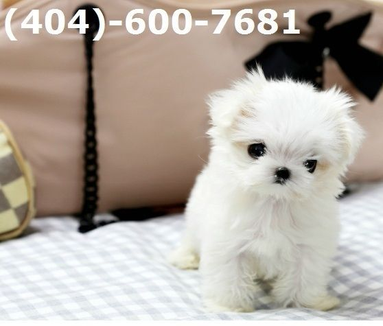 Healthy Teacup Maltese Puppies Now Available 404 600 7681 Price Under 300 Lancaster Puppies Happyvalentinesday2016i Puppies For Sale Dog