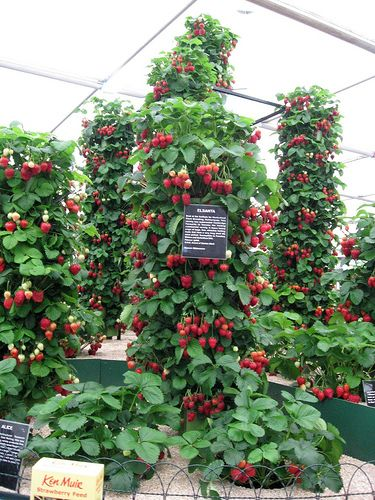 Strawberry towers edible landscapes yes there pretty too for Strawberry garden designs