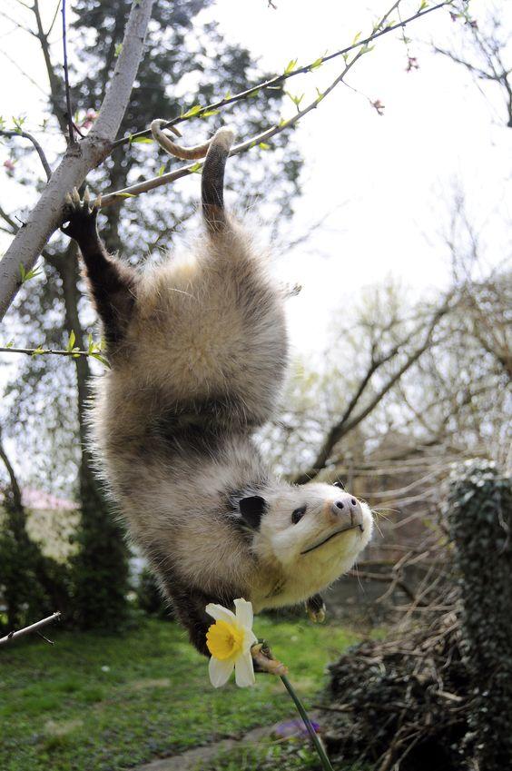 : Funny Animals, Sweet Animal, God S Creatures, Adorable Animals, Funny Pictures, Wild Animals, Cute Animals, Happy Opossum