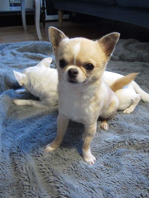 Adoption De Gollum Petit Chien Chihuahua Region Ile De France En 2020 Chihuahua Chien Petit Chien