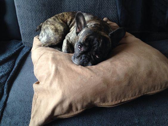 Melancholy French Bulldog.