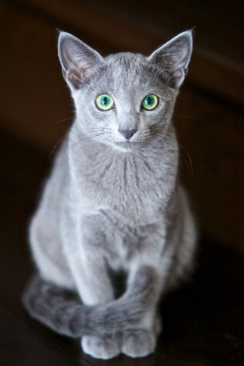 Russian Blue Cats Kittens Our Russian Blue Has Sage Eyes Which