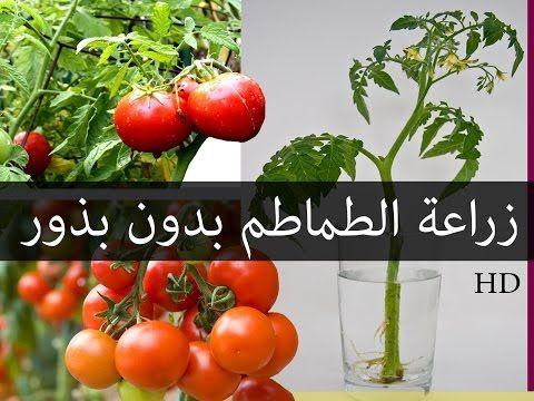 طريقة زراعة النعناع من حزمة نعناع من الخضري و كوب ماء فقط في اقل من 12 يوم Youtube Tomato Vegetables Food