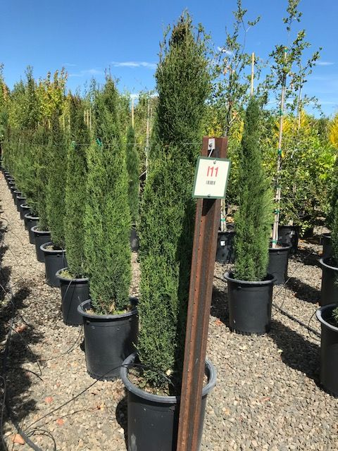 Chamaedorea Hooperiana 15 Gallon Size One Of The Two Best Types Of Bamboo Palms For Sale At Nursery Tropical Plants Plants Tropical Landscaping