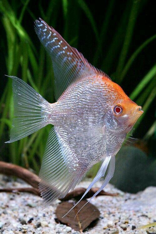 Tropical Fish Breeding Tropical Fish Tropical Freshwater Fish Fish