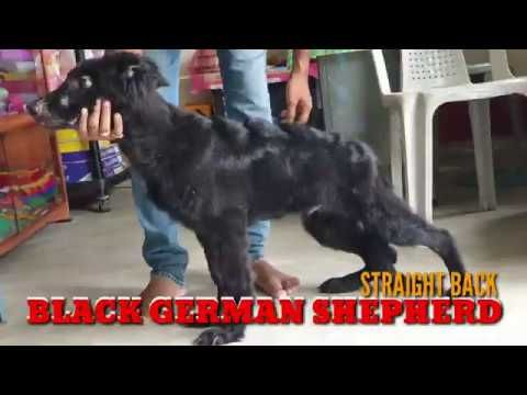 Rare Black German Shepherd Puppy Semi Adult Gsd 5months Old For
