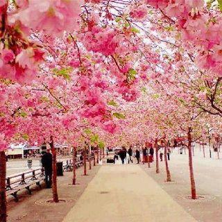 Cherry Blossom Walk, Sakura, Japan