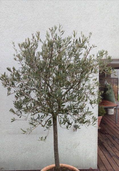 Olivenbaum Schneiden Verjungungsschnitt Fur Kahle Kronen Mein Mediterraner Garten Making A Mask Diy Olivenbaum In 2020 Mug Art Flax Seed Benefits Beer Crafts Diy