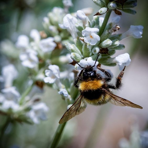 Auch mein weißer #Lavendel kommt bei den verfressenen Hummeln gut an. #meingarten #summer #bumblebee #FB