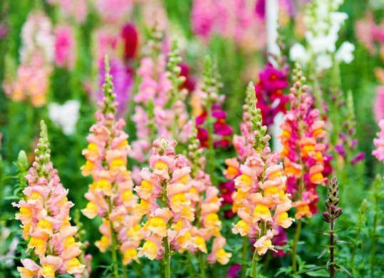 30 Ways To Color Your Yard This Fall Snapdragon Flowers Plants