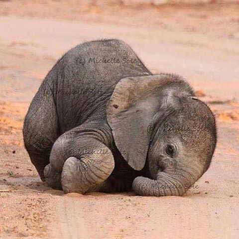 """""""Follow @WildlifePlanet for more amazing wildlife and nature posts @WildlifePlanet ---------------------------- Baby elephant  Photography by: ©Michelle…"""""""