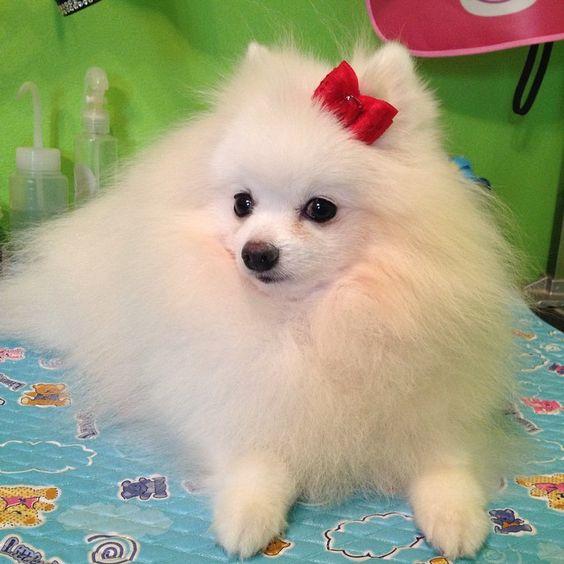 I'am snow 5year old so cute #mimi_shihtzu #pet #paws #puppy #ilovedog #ilovepet #instadog #dog #diva #cute #cutedog #animal #animallovers #pom#pomeranian #pomestagram