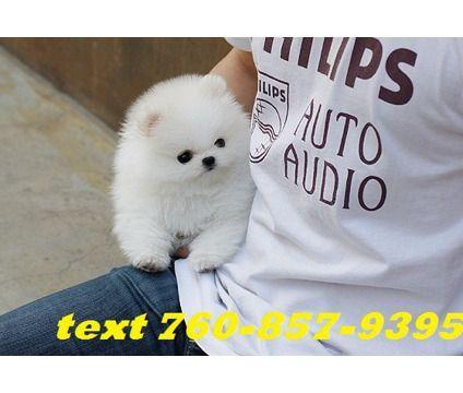 dodjfh glamorous male and female Pomeranian puppies is a Female, Male Pomeranian For Sale in Azalea OR