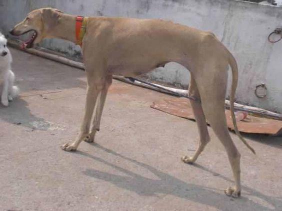 rajapalayam dog photo Cute Dogs Pet Rajapalayam Dog