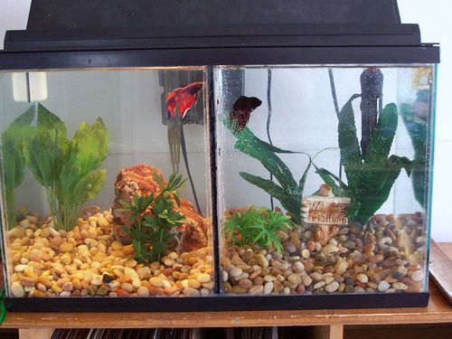 10 gallon divided betta tank aquariums pinterest for 10 gallon koi tank