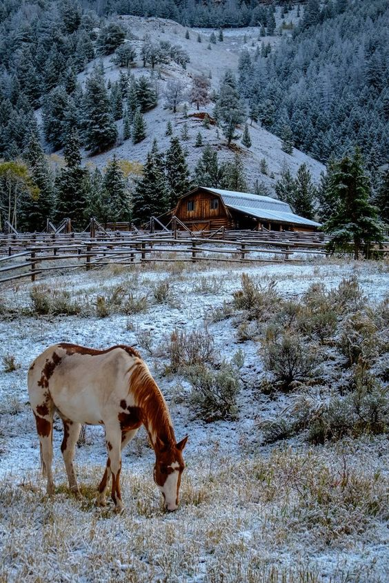 Paint horse grazing in the wide open mountain plains. Beautiful snow covered field on the homestead.: