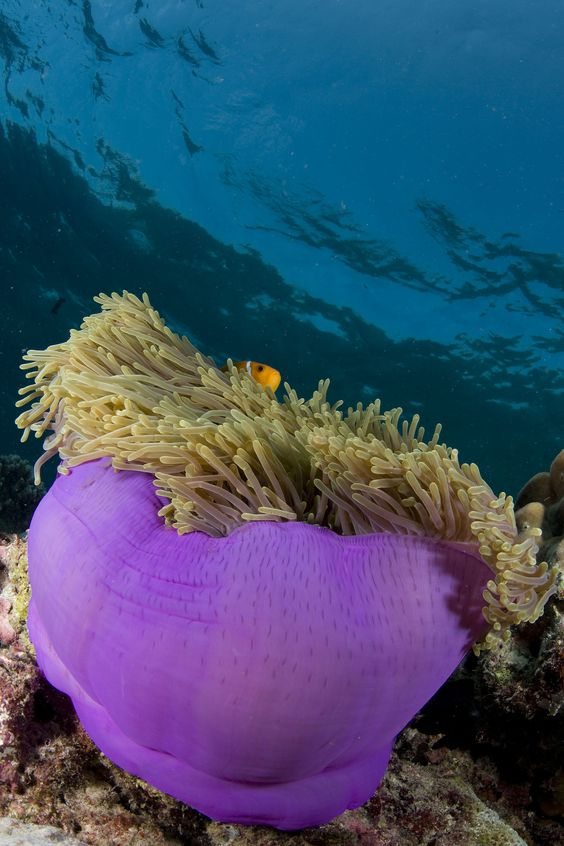 Sea Anemone is home to the clone fish. Can you find Nemo?