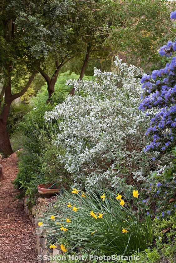 Pinterest the world s catalog of ideas for Southern california native plants
