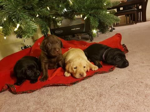 Litter Of 9 Labrador Retriever Puppies For Sale In Watertown Ny