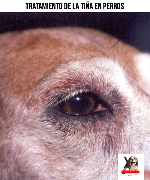 Como Tratar La Tiña En Perros Remedios Caseros Para Perros Perros Cuidar Animales